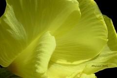 Muselina Amarilla/Yellow Muslin (Altagracia Aristy Sánchez) Tags: petals américa dominicanrepublic tropic caribbean antilles caribe repúblicadominicana pétalos okraflower trópico antillas quisqueya fujif40 fujifilmfinepixf40fd flordemolondrón sanrafaeldeyuma altagraciaaristy caraïbi