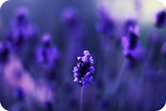 Humour is a reminder that no matter how high the throne one sits on, one sits on one's bottom.  ~Taki (puremaguire) Tags: beautiful pretty dof friendship bokeh humour lavendar pps perfectpurplesaturday puremaguire kaymaguire
