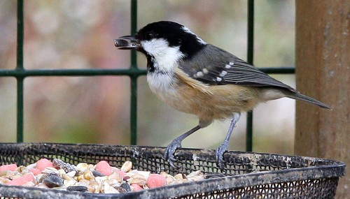 Coal Tit with Sunflower Seed