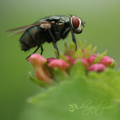 "God in His wisdom made the fly And then forgot to tell us why. ~Ogden Nash, ""The Fly"" ( dragonflyriri  (Limited Flickr Time)) Tags: pink hairy macro green garden insect square fly searchthebest bokeh explore crime micro bud lantana frontpage pbs rx hggt dragonflyriri"