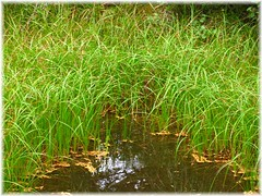 Pond Grass at Schreibers