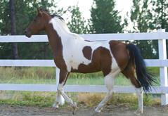 CA Cali Girl (Highway of Life) Tags: horses horse cali mare arab mindy arabian pinto nationalshowhorse saddlebred nsh partbred cacaligirl