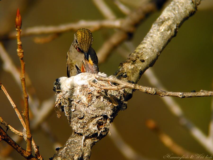 Anna's Hummingbird nest baby f02091-7