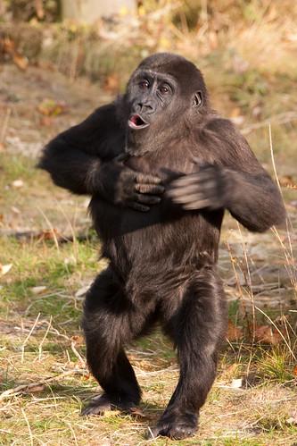 フリー画像|動物写真|哺乳類|猿/サル|ゴリラ|子猿|フリー素材|