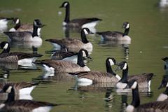 Canada Geese on Lake Campbell - 2 (Stephen Little) Tags: bird aves canadagoose brantacanadensis animalia rockingham branta anatidae anseriformes chordata lakecampbell bcanadensis virginiabirdingandwildlifetrail minoltaaf500mmf8 massanettasprings j