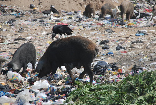 Chanchos Pigs Eating Basura Trash