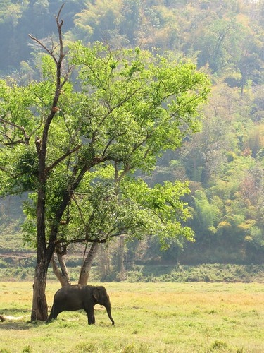 Lone elephant and tree