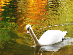 Swan (Cygnini) in Autumn Reflections - Adelberg, Herrenbach Artificial Lake, Germany (Batikart) Tags: travel autumn orange white colour reflection green bird art fall nature water animal yellow fauna germany watercolor geotagged deutschland gold golden see swan pond wasser europa europe wildlife herbst natur wing aves gans grn schwan weiss spiegelung 2009 soe tier vogel 2010 flgel badenwrttemberg swabian anatidae anseriformes wasserfarbe gppingen canonpowershota610 artificiallake 100faves 50faves anserinae adelberg specanimal viewonblack regionstuttgart colorphotoaward batikart cygnini entenvogel herrenbachstausee gnsevogel mygearandmepremium mygearandmebronze mygearandmesilver