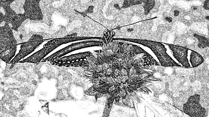 Zebra longwings