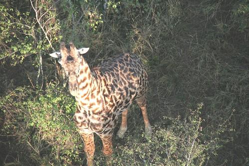 Maasai Giraffe (from Balloon) - Maasai Mara, Kenya
