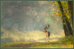 The Duke of the Dunes (hvhe1) Tags: autumn fall nature colors animal canon season bravo stag searchthebest wildlife doe deer 7d fallowdeer herd fallow awd rut rutting interestingness4 amsterdamsewaterleidingduinen specanimal animalkingdomelite hvhe1 hennievanheerden canoneos7d