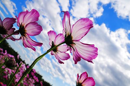 フリー画像| 花/フラワー| コスモス| ピンク/花|        フリー素材|