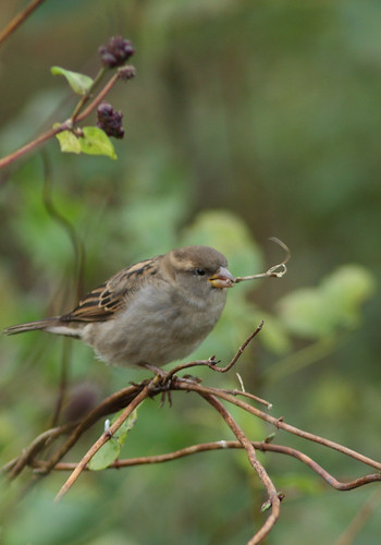 House sparrow -- female