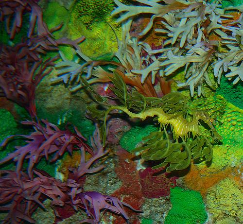 leafy-sea-dragon3