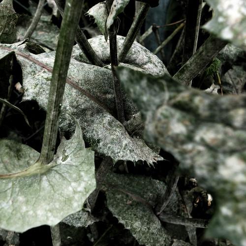Powdery mildew / うどんこ病