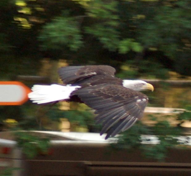 eagle_620x569