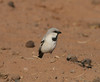 Desert Sparrow (per.gustafsson) Tags: marocko