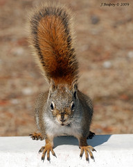 Squirrel Exclamation Mark! (J Bespoy) Tags: red canada squirrel alberta wmp naturesfinest blueribbonwinner platinumphoto impressedbeauty kunstplatzlinternational vosplusbellesphotos