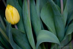 Solo (espri fotografeert) Tags: flower holland green nature netherlands dutch leaves yellow closeup leaf groen blad tulip geel tulipa bloem tulp bladeren tulipani