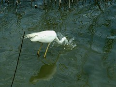 Great white egret (hermaneva) Tags: white fish bird nature fishing alba great egret nagy egretta kcsag