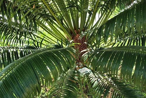 Cycas circinalis (rq) - 02