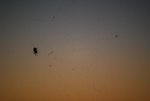 Sunset Spider