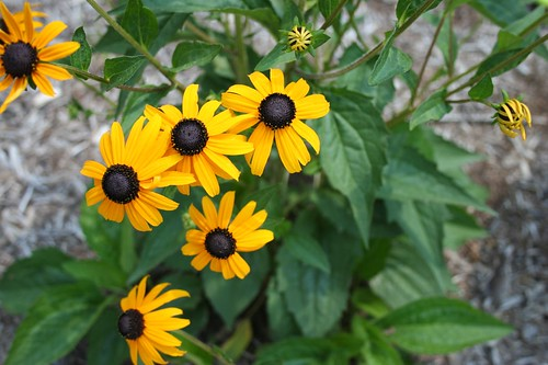 Black Eyed Susans - DSLR