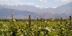 El INV elevó el status de los vinos de la localidad sancarlina de La Consulta