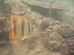 Copperband Butterfly Fish - Chelmon rostratus