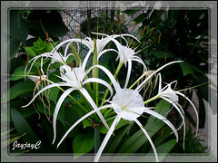 Hymenocallis caribaea (Caribbean Spiderlily) at our backyard, June 28 2009