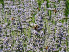 lavanda lavender (Marsala Florio) Tags: wow lavender lavanda otw mycameraneverlies clickcamera flickrlovers oneofmypics