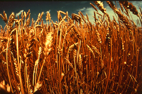 Wheat and the Weeds