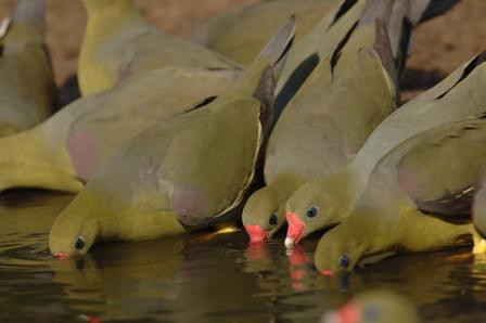 Green Pigeons at the Mehwa mineral lick in the Ituri