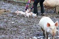 a litter of pigs?
