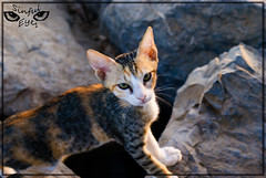 Wana fight ? ...... Punk ! (Sinful Eyes) Tags: cat eyes kuwait q8