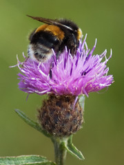 "Busy-Bee (gainsheritage ""Commenting when I Can"") Tags: nature beauty bees thistle butterflies masterphotos specinsect"