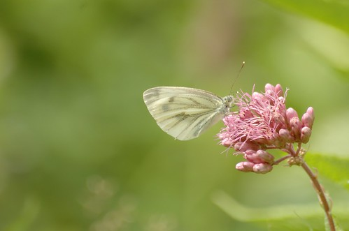 Pieris napi | Klein geaderd witje - Green veined white