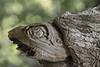 Tartaruga azzannatrice (Giancarlo Mella (OFF)) Tags: italy alberi canon italia natura 50d castagneto terelle eos50d canoneos50d giancarlomella 70200lf4isusm
