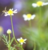 Inconsequential (hotes trinkets/DaydreamingKat) Tags: flower macro nature fleur garden flickr natural bokeh july tiny closeups mygarden petite hoverfly flore chamomile naturesfinest inconsequential straightfrommycamera germanchamomile bokehlicious nocolorsadded sonyalphadslra700 absolutelynatural beyondbokeh