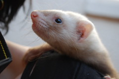 bucky (Kittiie616) Tags: baby color colour ferret sandy kit bucky babyferret highlydetailed