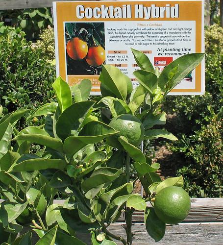 cocktail hybrid citrus