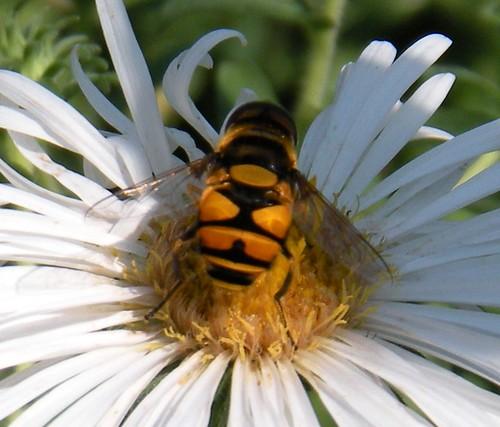 Eristalis transversa, Transverse Flower Fly