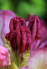Blumenknospen (margaretha_hopfner - 650.000+views) Tags: flowers spring blumen fruehling concordians wonderfulworldofflowers