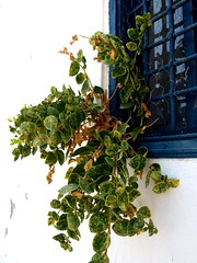 Blumentopf gespart..... (Bettina Trper Kouri) Tags: flower window kreta crete loutro sfakia  fensterblume