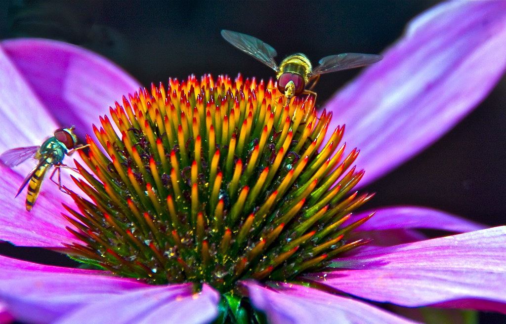 Echinacea purpurea 'Robert Bloom' ( Cone Flower) & Hoverfly