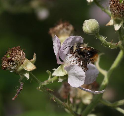Blackberry Bee