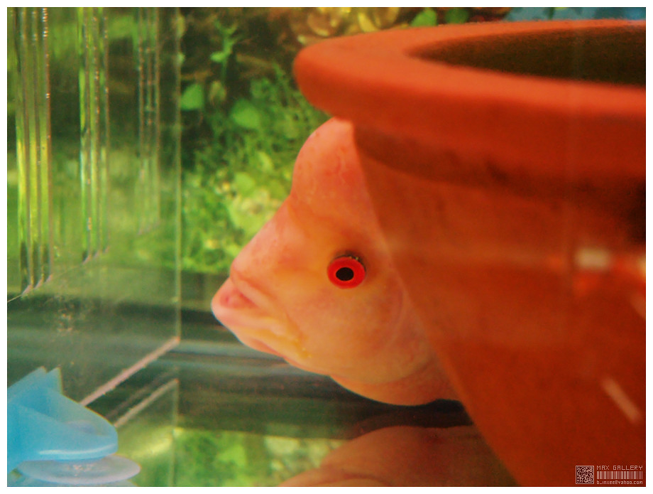 The World's Best Photos of flowerhorn and red - Flickr Hive Mind