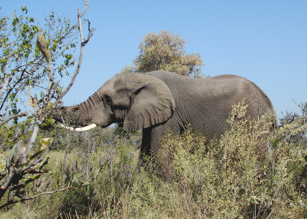 DSC08146 Elephant grabbing a branch