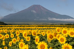 Sunflower Fuji (AJ Brustein) Tags: flowers summer mountain japan canon aj landscape scenery sunflowers  fujisan  mtfuji yamanashi 30d   brustein topseven platinumheartaward