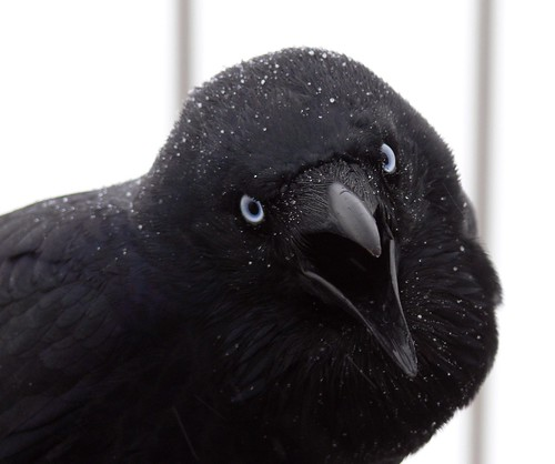 Raven With Beak Open Mid-Squawk (Closeup)
